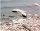 Shoreline with dead fish