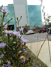 Asters bloom in the parking lot at ADEQ's headquarters, with building in the background